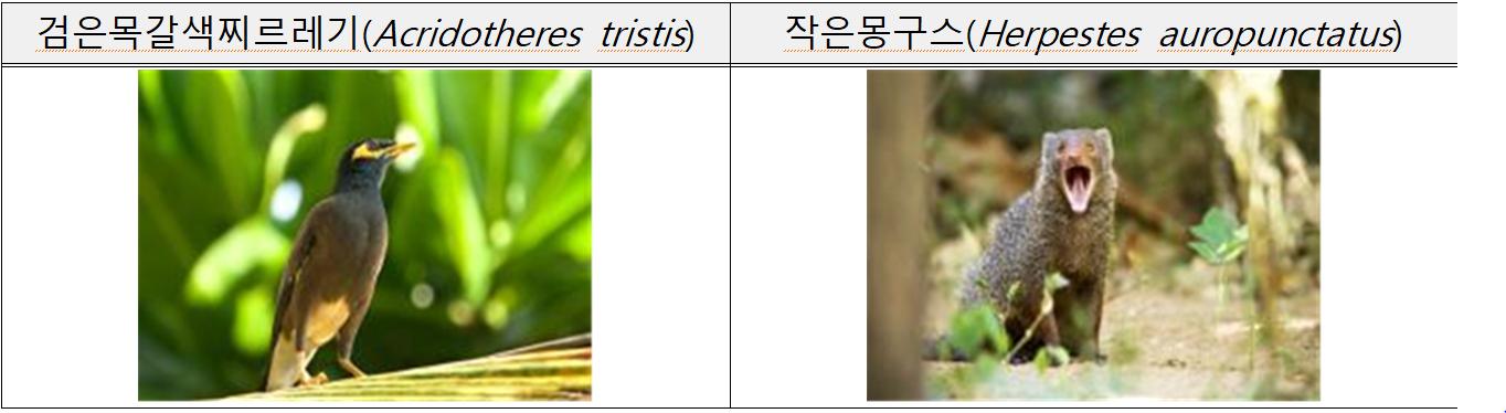 검은목갈색찌르레기(Acridotheres tristis)