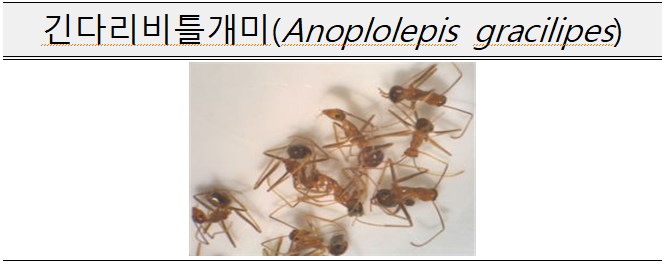 긴다리비틀개미(Anoplolepis gracilipes)