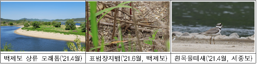 백제보 상류 모래톱('21.4월)  표범장지뱀('21.6월, 백제보)  흰목물떼새('21.4월, 세종보)