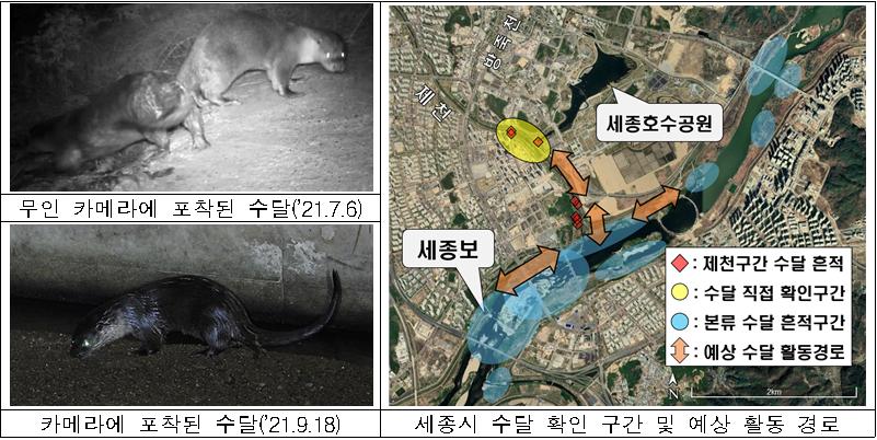 무인 카메라에 포착된 수달('21.7.6)  카메라에 포착된 수달('21.9.18)  세종시 수달 확인 구간 및 예상 활동 경로