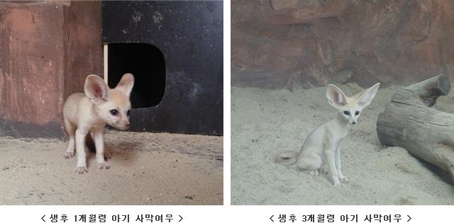 사막여우 새끼 출산