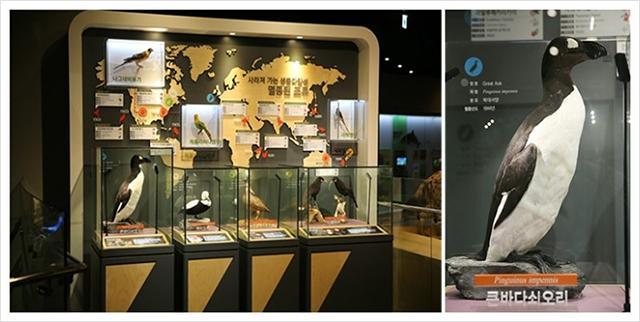 ▲ 전세계에 78점의 박제표본만 남아있는 '큰바다쇠오리(Great Auk)'