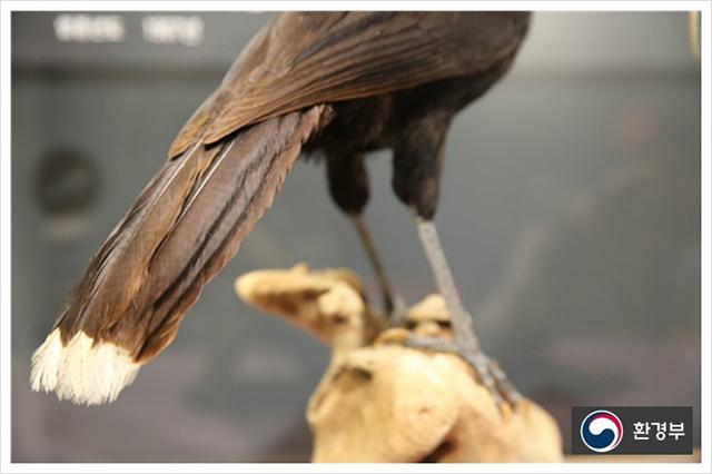 ▲ 8,400달러(한화 약 950만원)에 낙찰된 후이아(Huia)의 꼬리깃털
